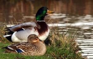 Ducks. I'm making voices for ducks. Photo: Big Stock Photo
